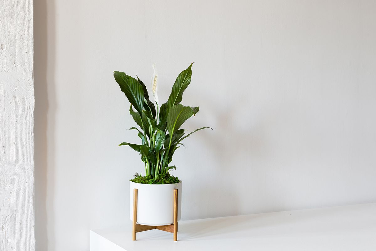 Peace Lily - Peace Lily