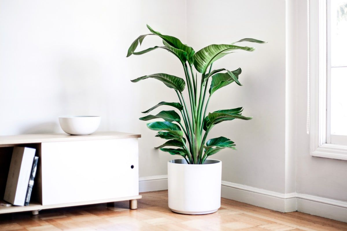 bird of paradise potted plants delivered nationwide by léon