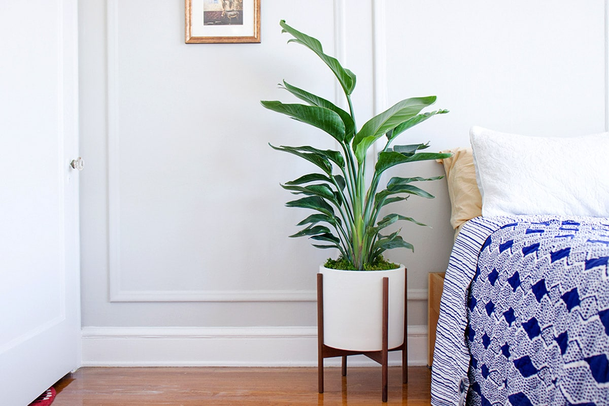 Bird Of Paradise Large Potted Plants Delivered By Leon George