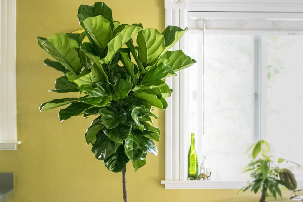 Fiddle Leaf Fig Tree - 0