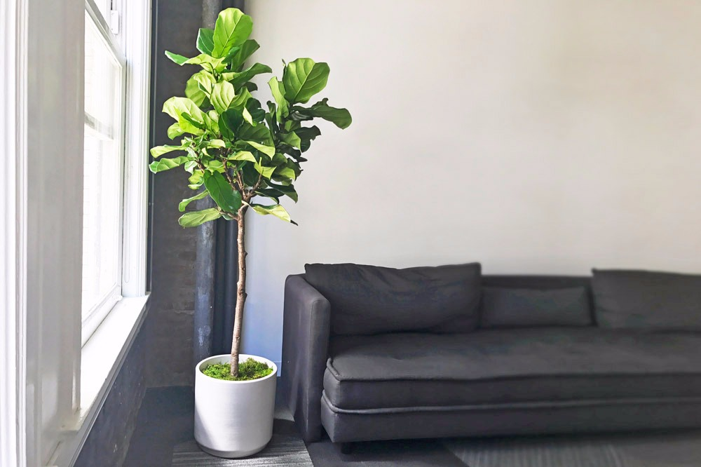 Fiddle Leaf Fig Tree - 1