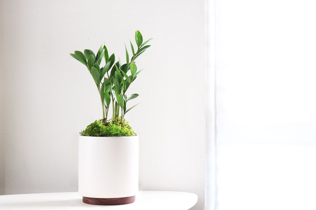 Zanzibar Gem Small Potted Plants Delivered By Leon George