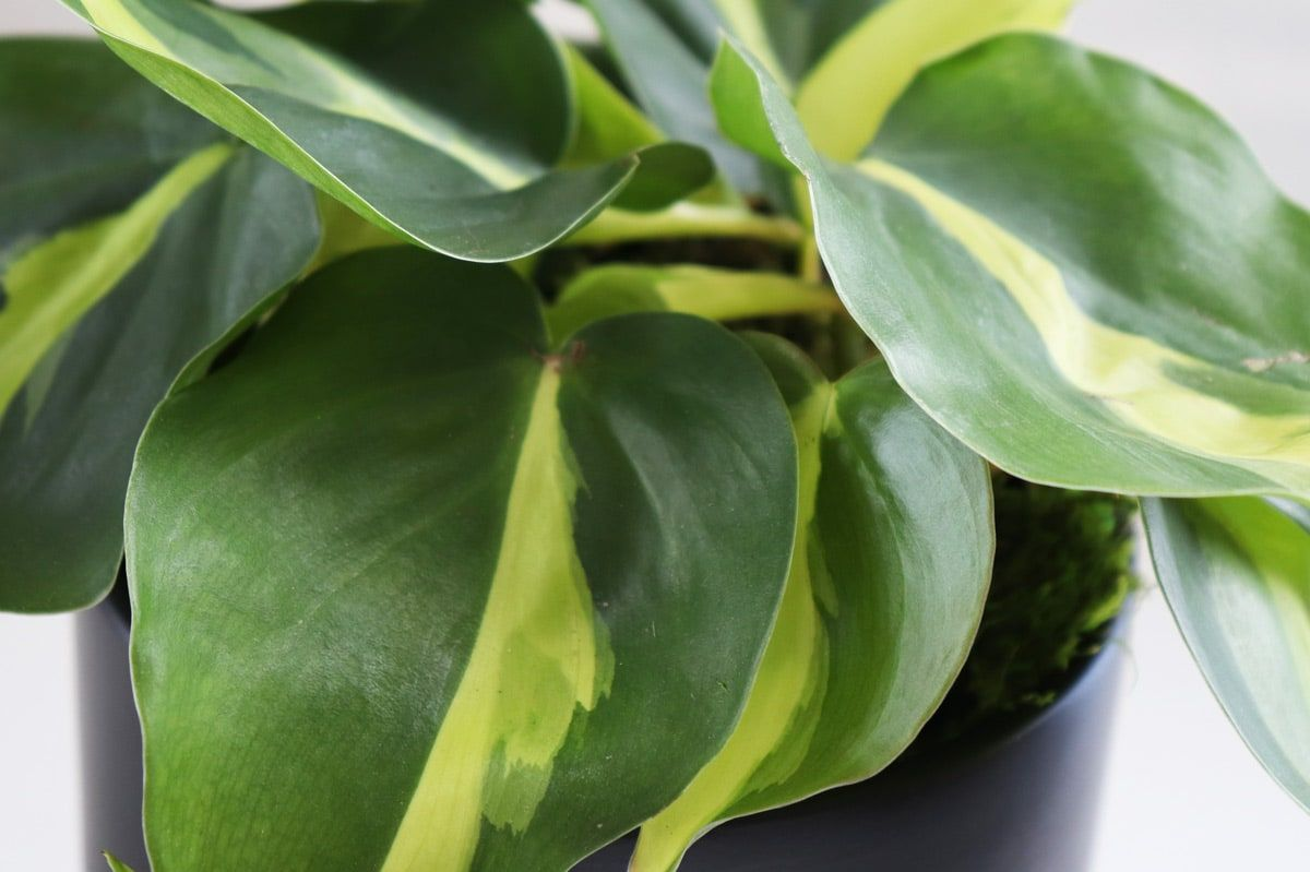 Philodendron Brasil - alt