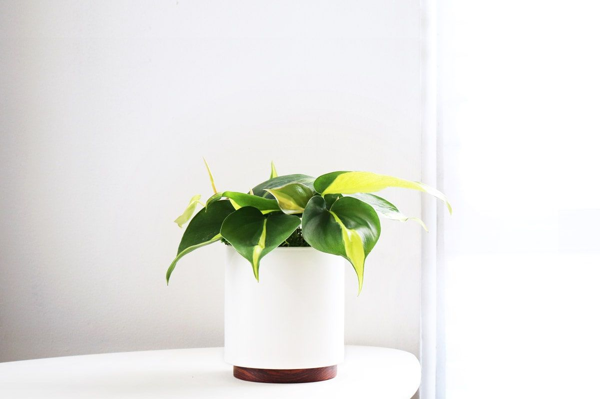 Philodendron Brasil Small Potted Plants Delivered By Leon