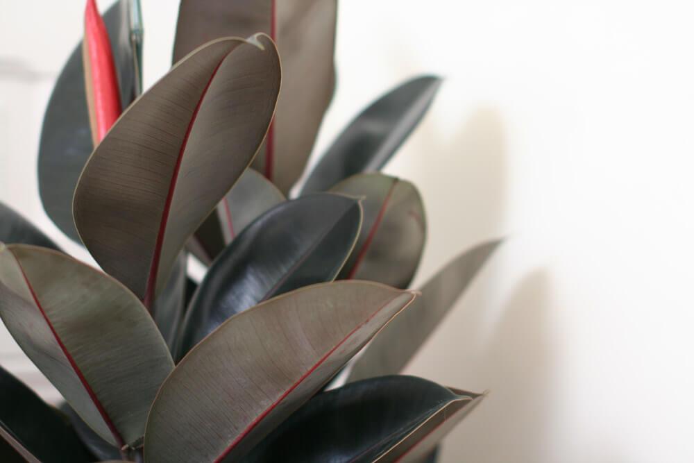 Ficus Elastica - alt