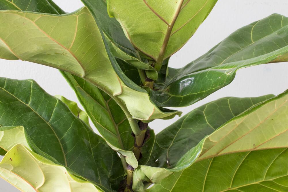 Lyrata Canopée Ficus lyrata