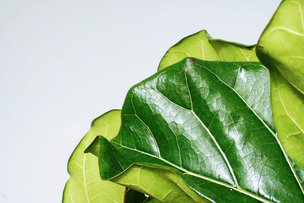 Fiddle Leaf Fig Column - alt