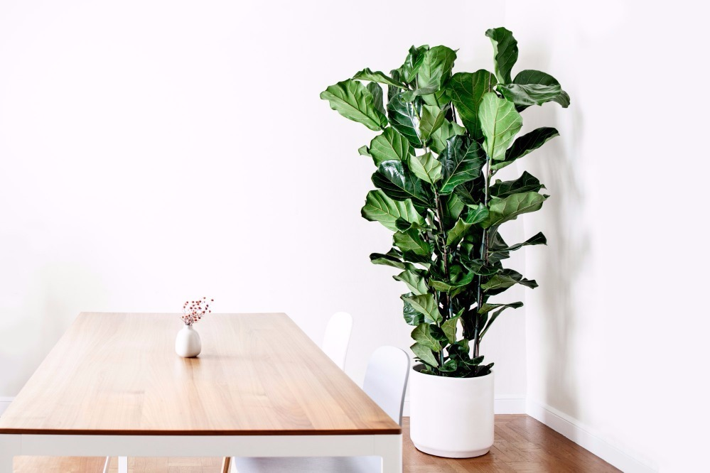 Fiddle Leaf Fig Column - 0