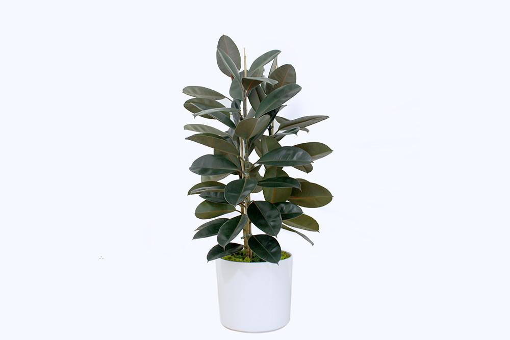 Ficus Elastica - 1