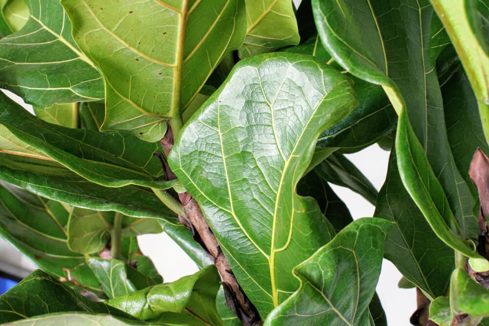 Junior Fiddle Leaf Fig Bush - alt