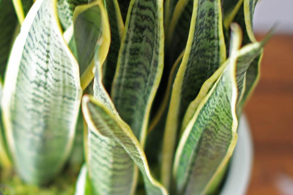 Large Snake Plant - alt