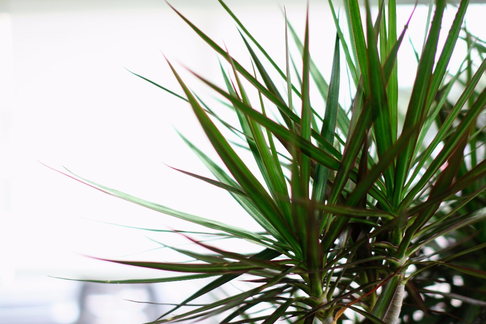 Dragon Tree Potted Plants Delivered Nationwide By Lon George