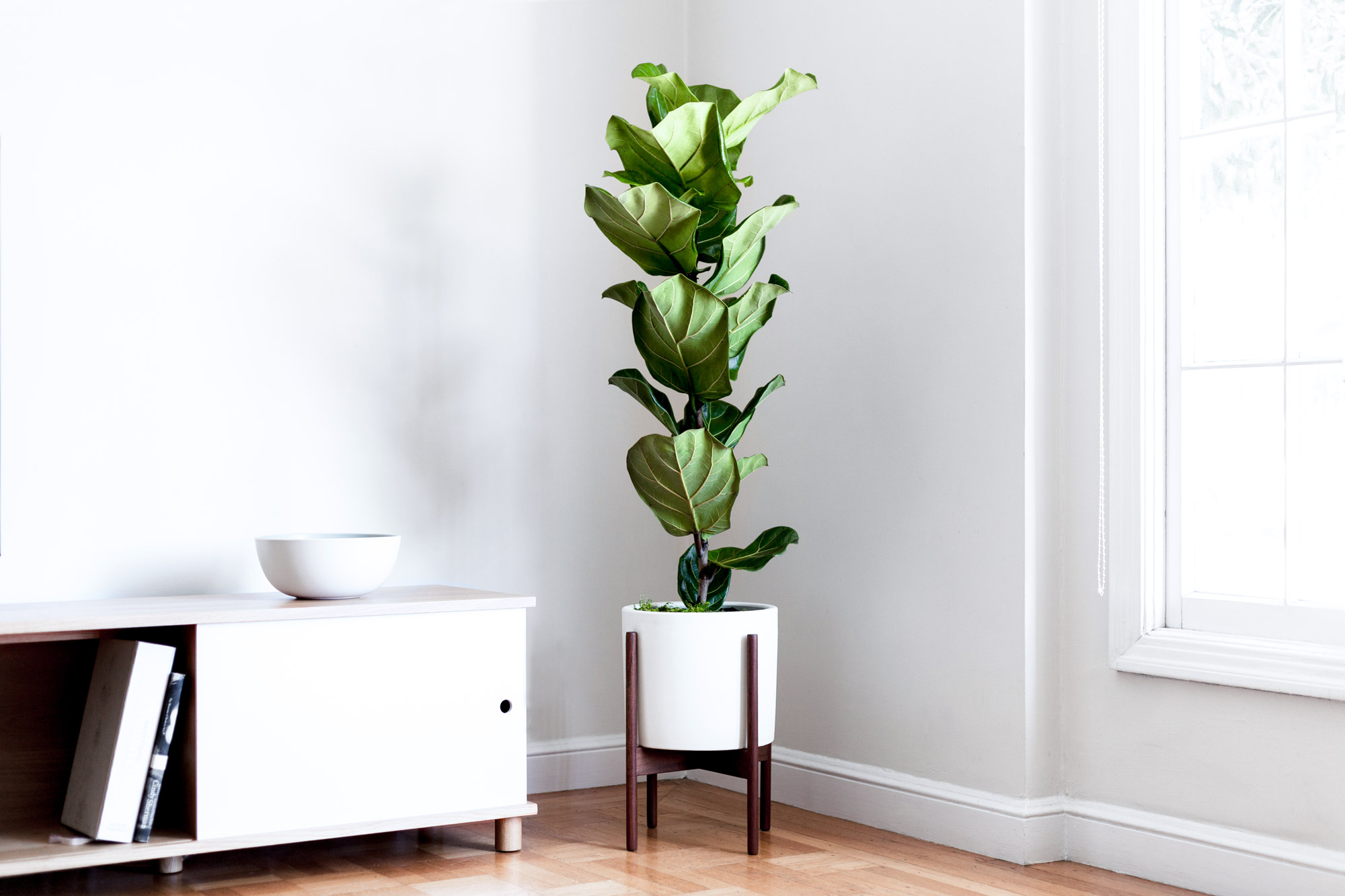 Slender Fiddle Leaf Fig Tree