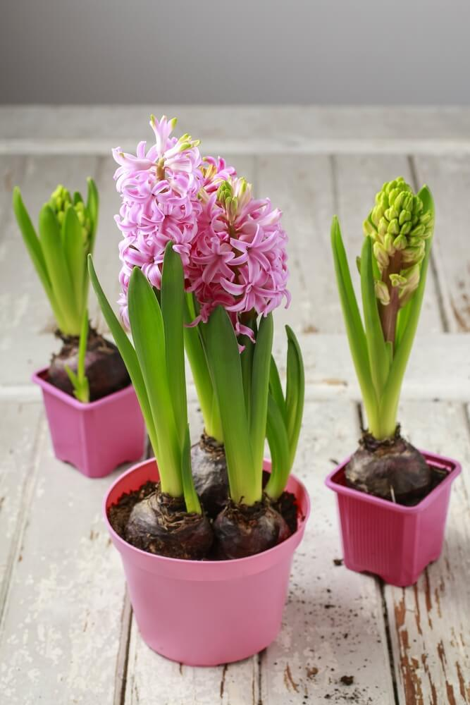 Bulb flowers like these hyacinths can be started in a pot and moved to a bed or other container.