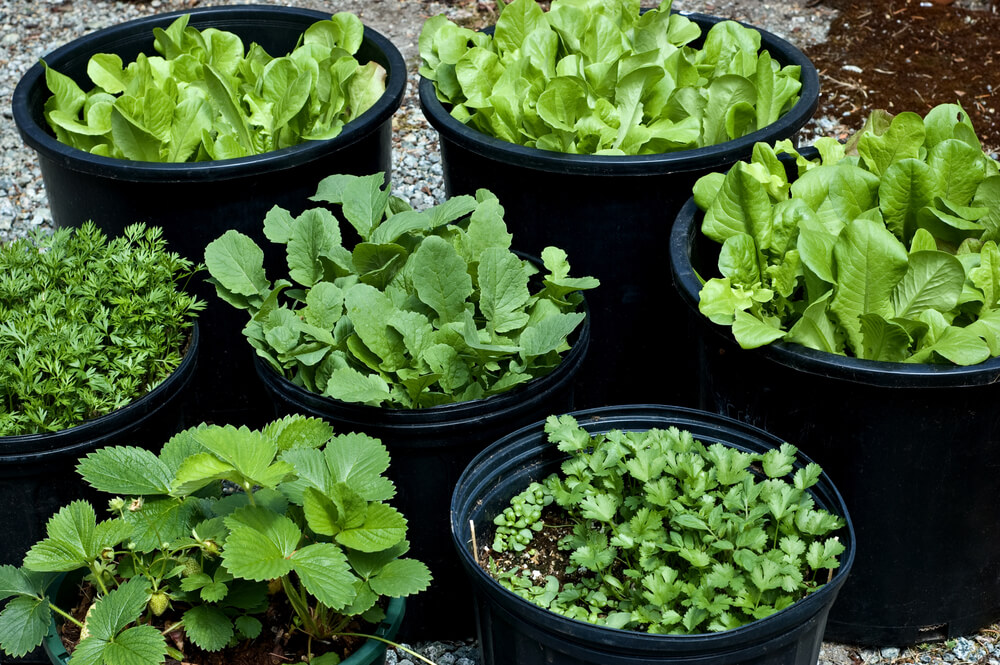 Greens like these do really well in smaller containers and you can pick them while you cook!