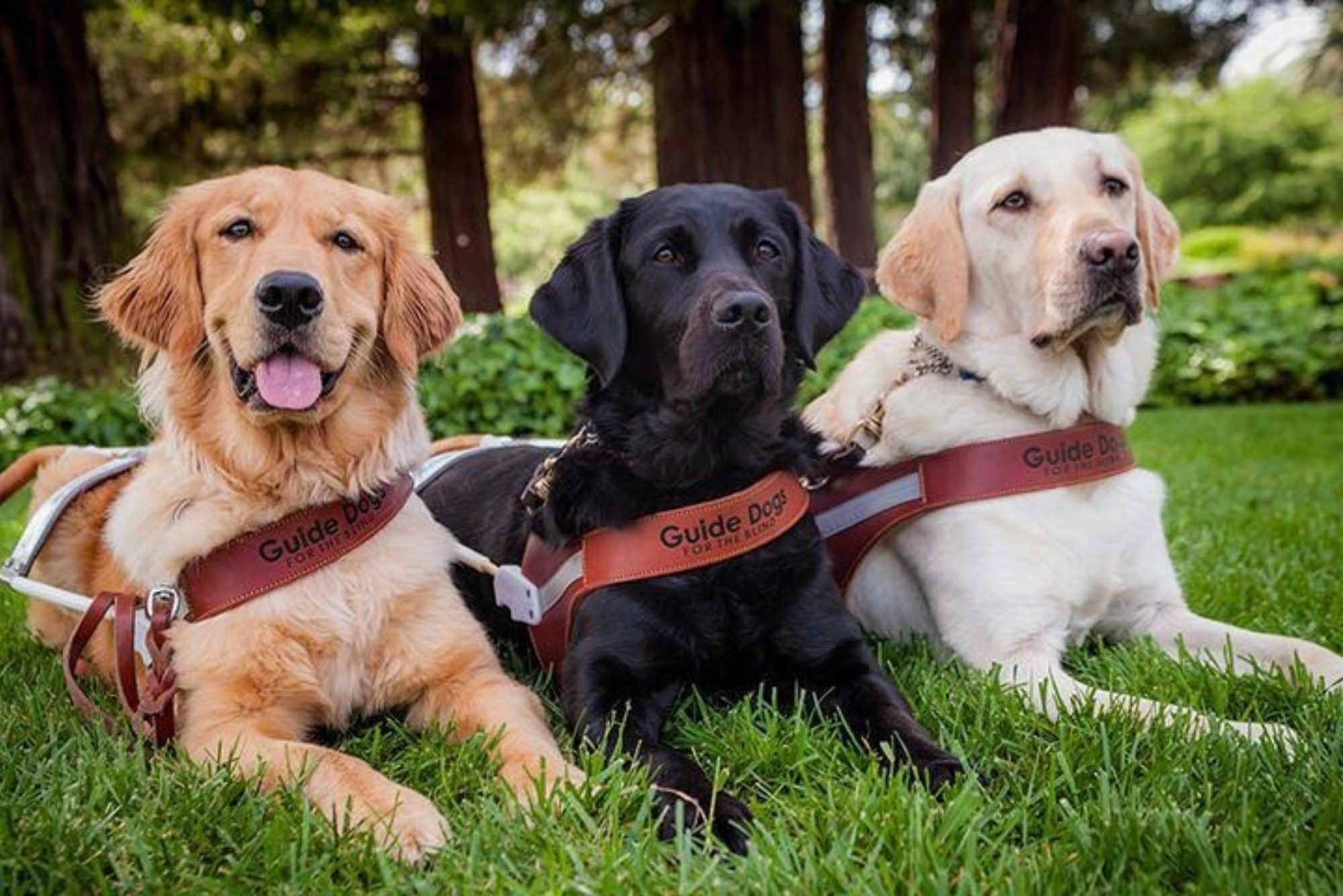 Adult Guide Dogs