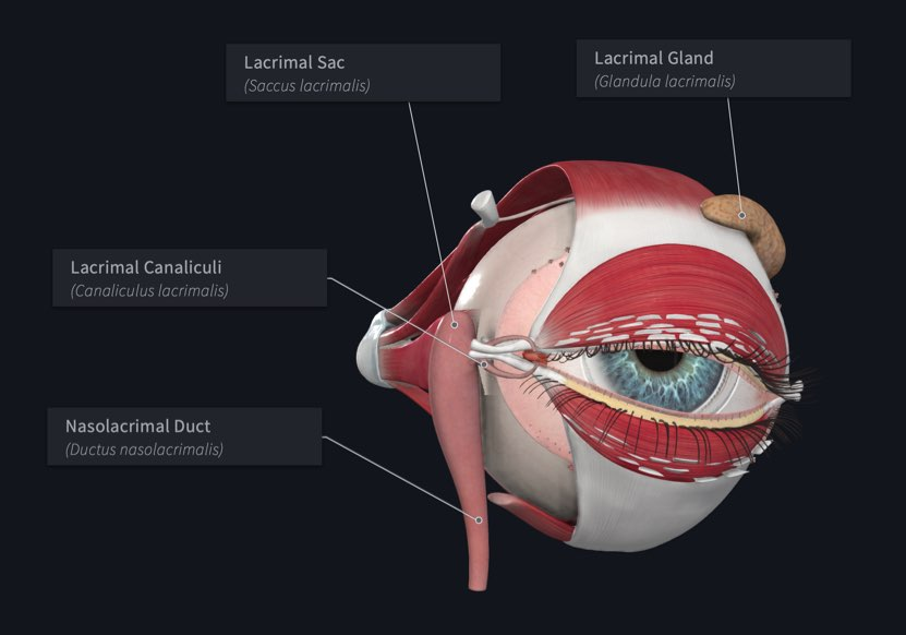 Lacrimal apparatus of the Eye