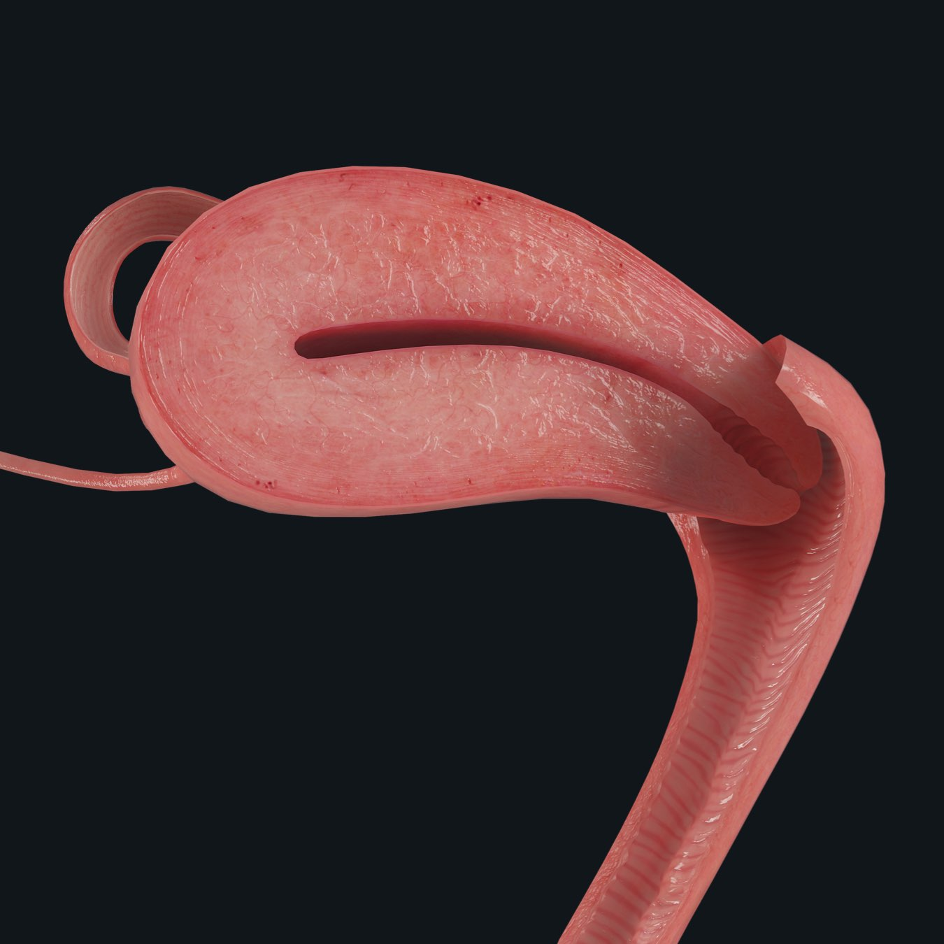 The uterus, part of the female pelvic prosection in Complete Anatomy