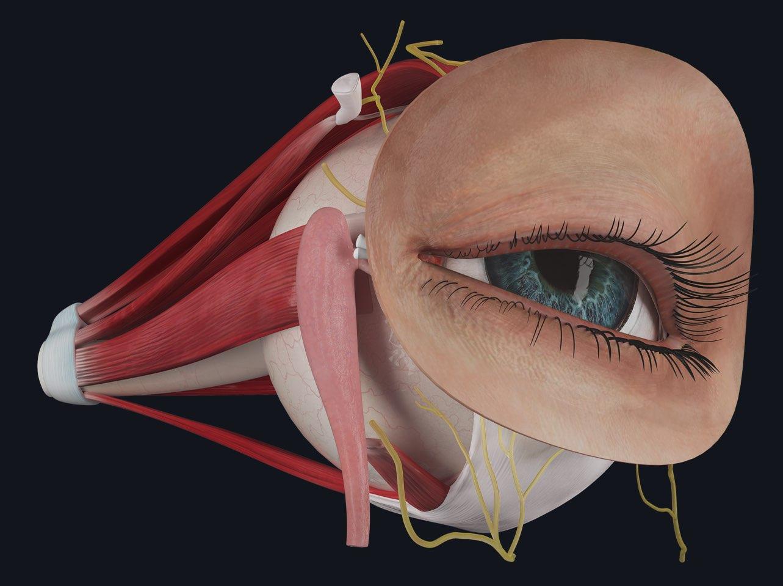 eye detailed model