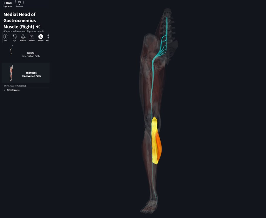 Muscle Innervation – 3D4Medical