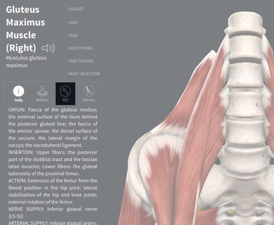 Muscle Origin & Insertion – 3D4Medical