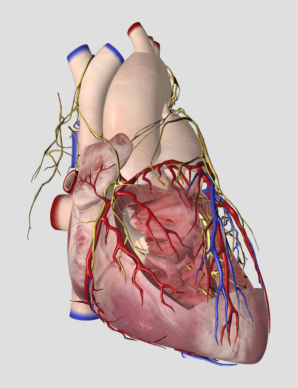 Essential Anatomy 5 3d4medical