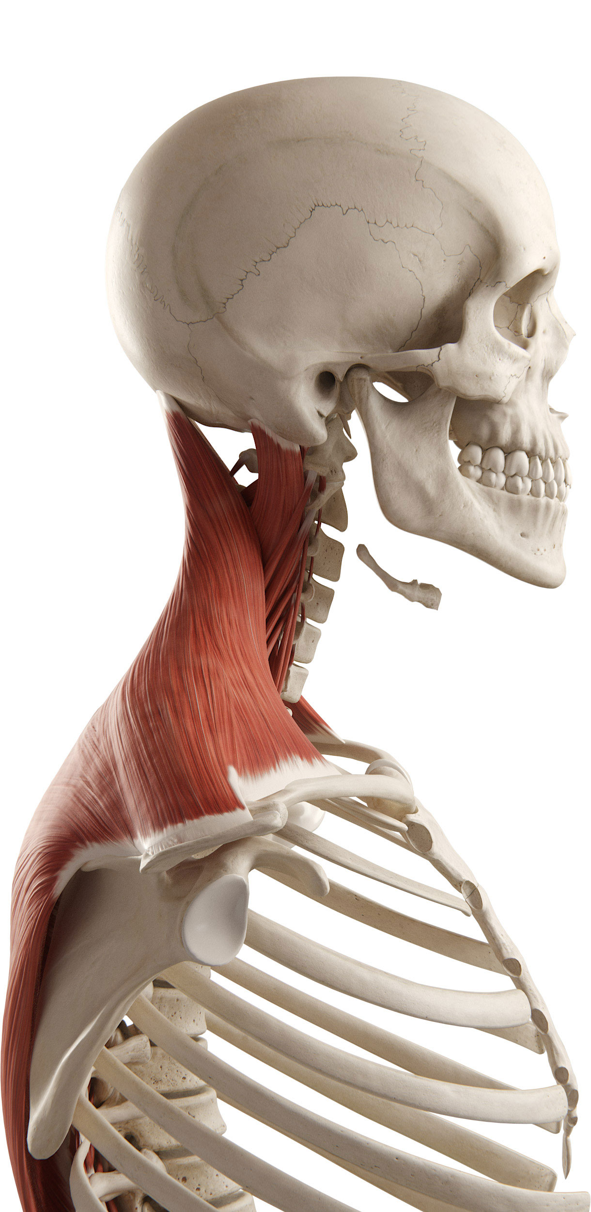 3D4Medical – Page 2 – Award-winning 3D Anatomy and Medical Apps