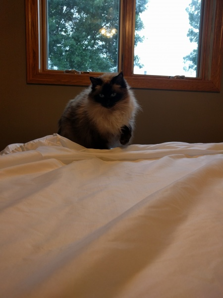 "Our cat, Ulla! ""Helping"" to make the bed."