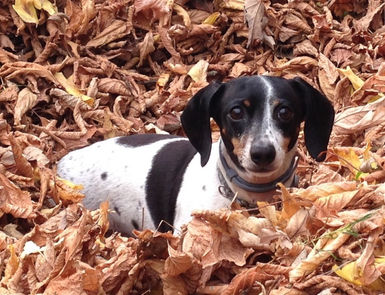 Our dog Daphne playing in the leaves in the fall.