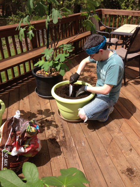 Seth re-potting fig trees on our deck.
