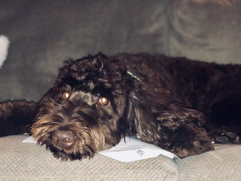 Labradoodle- 1 year old Fenwick