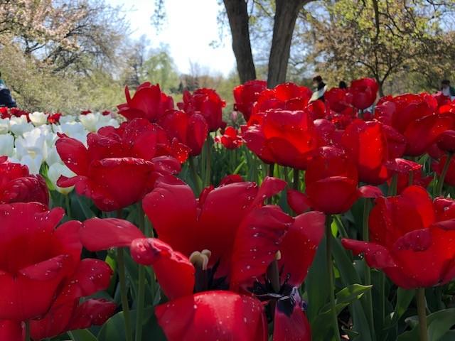 Nyc bbg tulips