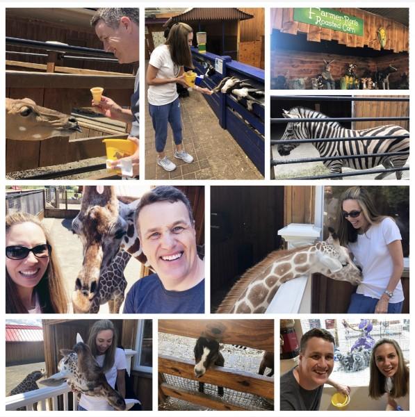 Fun feeding Giraffes