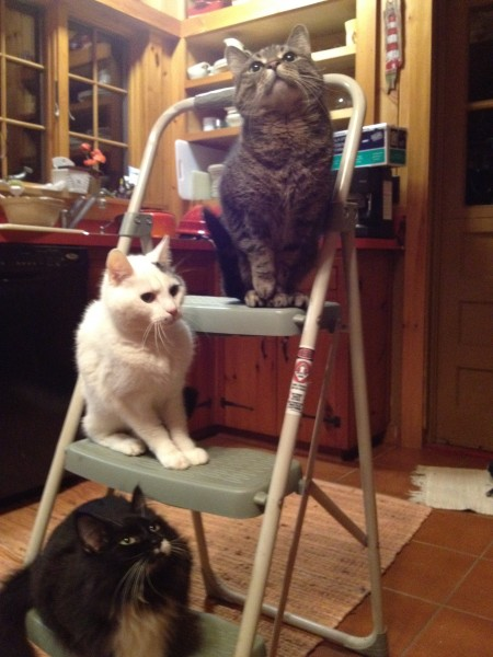 Cats on a ladder - one of my favorite photos of 3 of our former (older) cats. Oliver, Ivan and Josie.  We miss these three.