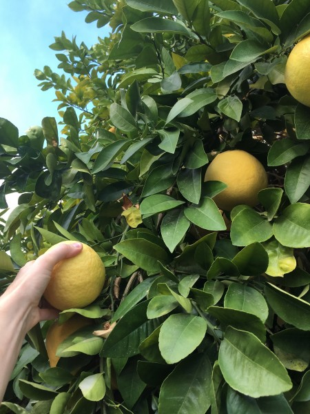 When we visit K's parents in Palm Springs, we always pick grapefruits from their yard!