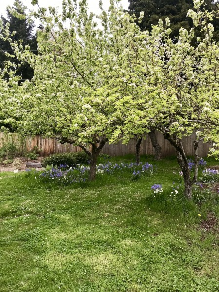 Our apple and pear trees in bloom