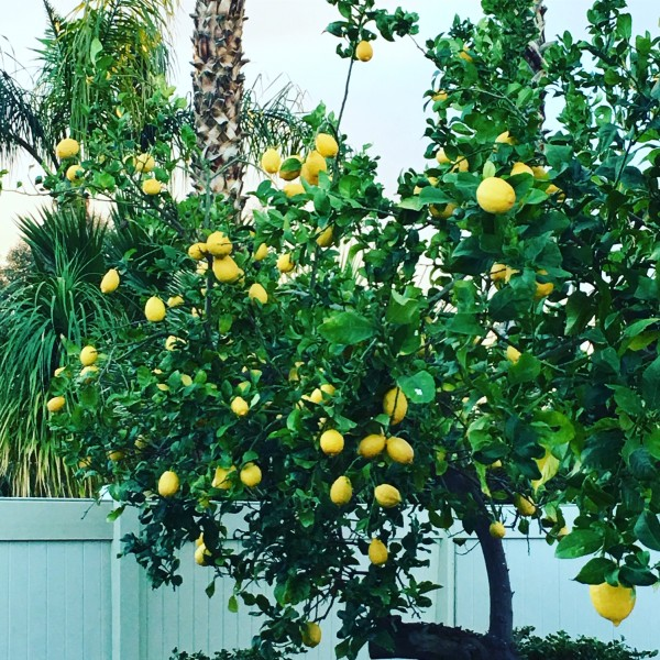 While Alan + the kitties face the cold + snow up north, I'm loving these lemons in my mom's backyard!
