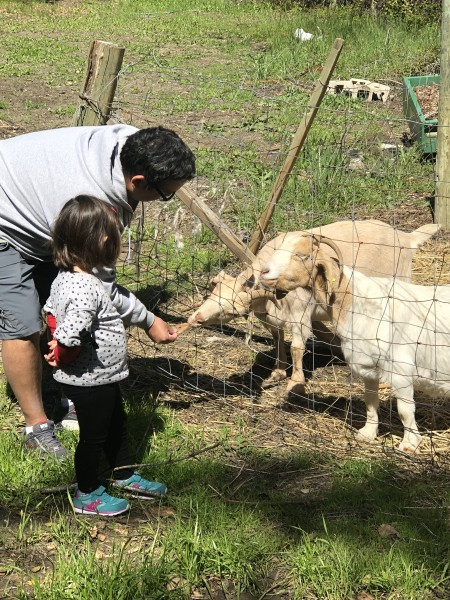 Spending time at a family far feeding the goats in Central California. One of the goats really loved Julio!