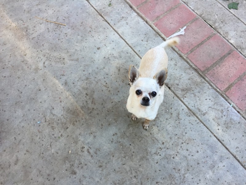 Our Chihuahua, Baber.