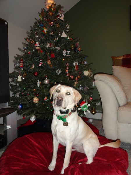 Ollie posing in front of our tree one year!  We went and chopped this one down ourselves!