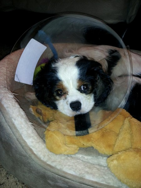 Shortly after we brought Channing home, he had a procedure on his eyes which required a cone!
