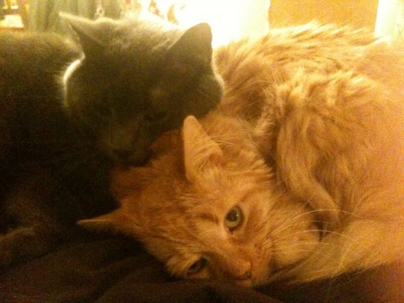 Nazli & Ben's fur-babies.  On the left (gray cat), Chester.  On the right (orange cat), the late Booey:(