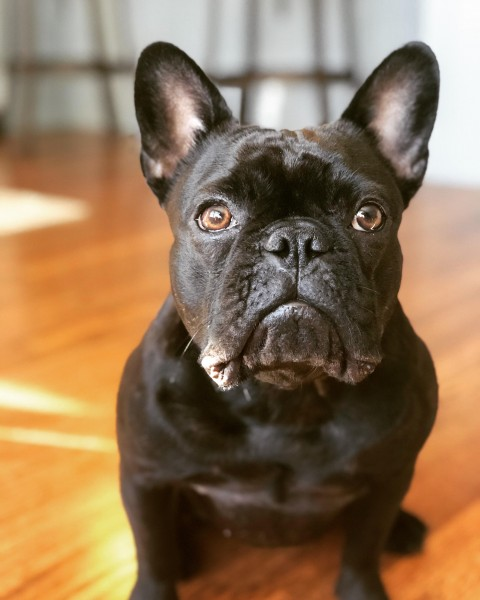 Our French Bulldog Zoey. She is another loving member of the family.