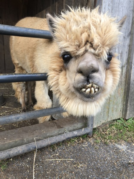 Another llama with the cutest smile :)