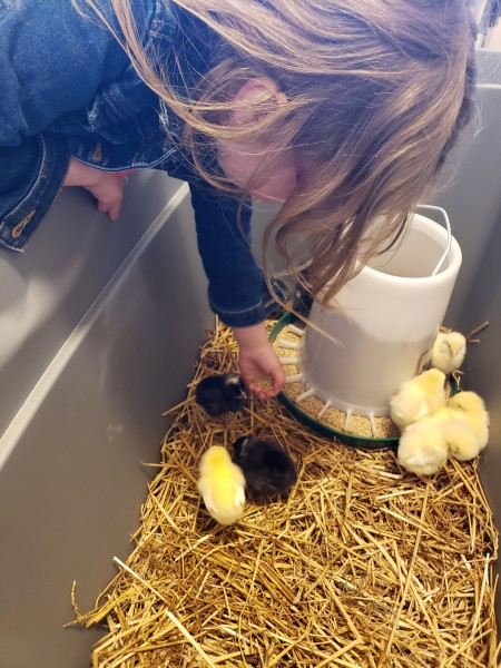 We got chickens.