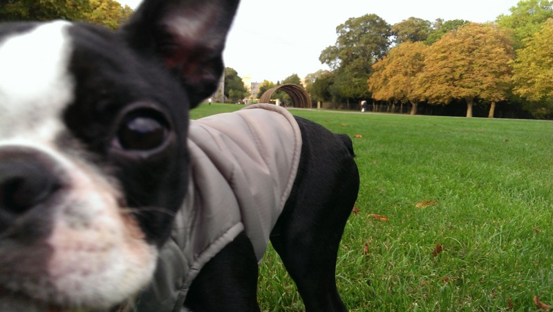 Olive is a 7 year old Boston Terrier