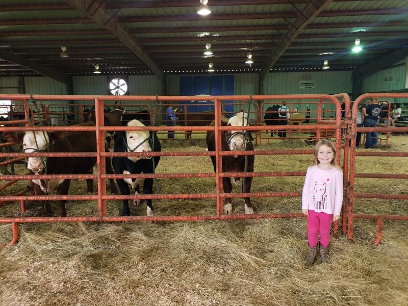 Cows at the fair