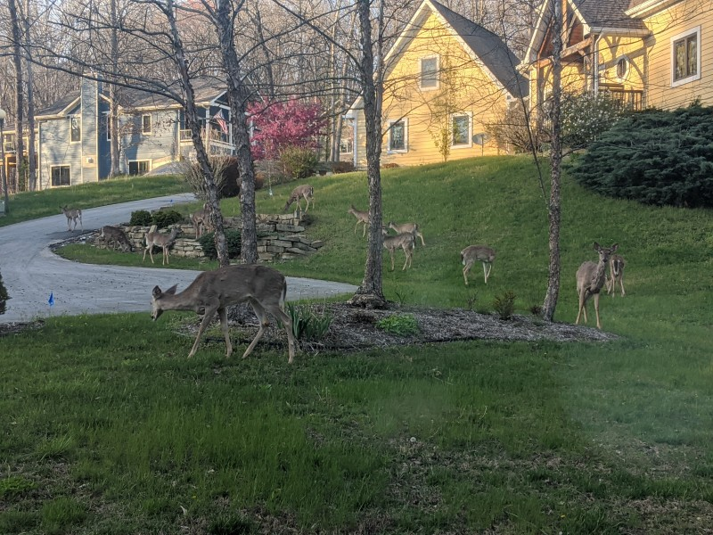 View of deer in our front yard