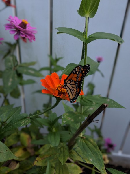 Butterflies frequent our garden!
