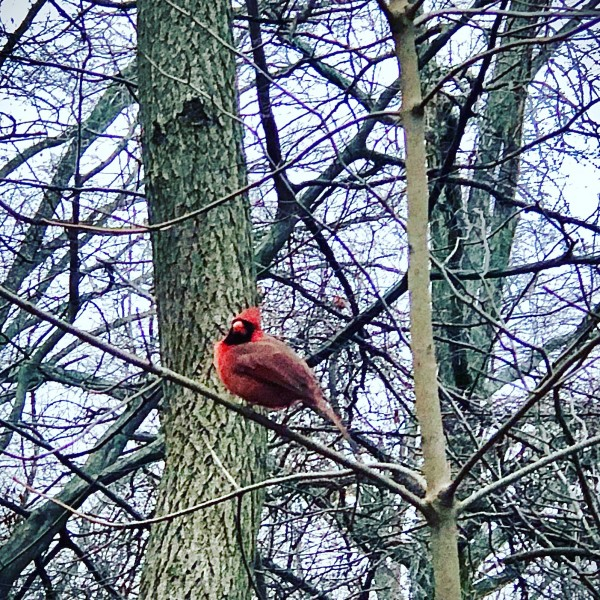 One of the many cute little cardinals we see at the park